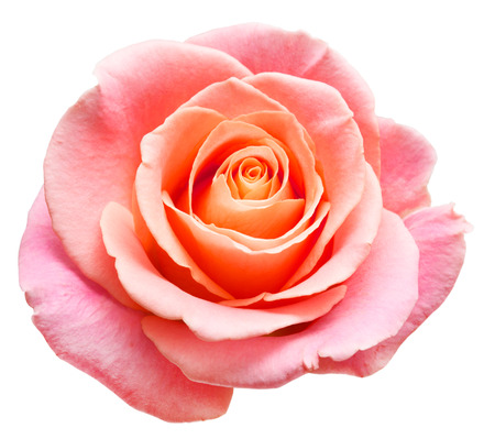 roze bloem op een witte achtergrond