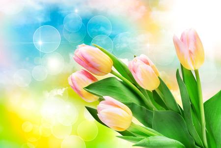 tulipan: Zbliżenie kwiatów tulipanów