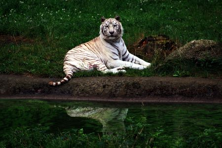 carnivora: White Tiger