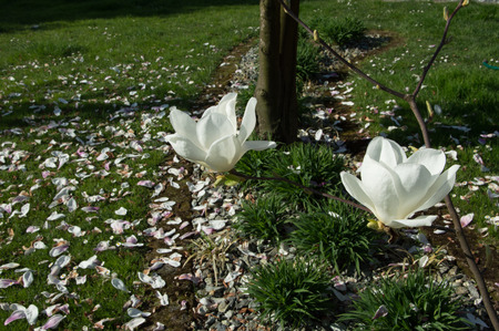 View of white flowers in spring, Veneto Italy