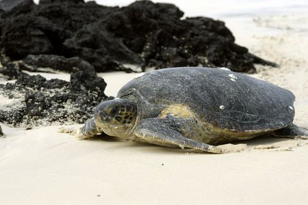 nesting: Galapagos green turtle returning to the ocean after nesting