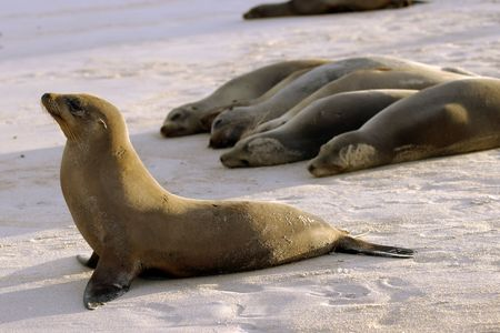 oversee: A group of Galapagos seals on a beach with one seal �guarding� the pack. Stock Photo