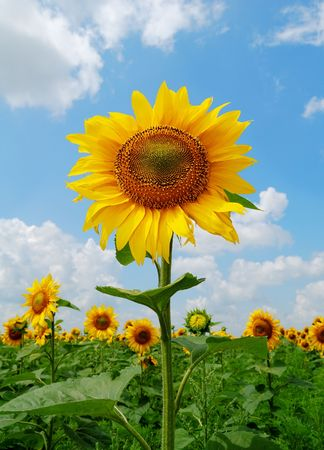 Big gold sunflower in the sunflower field under the blue sky