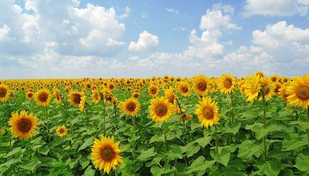 Big field of gold sunflowers under the bluue sky  photo