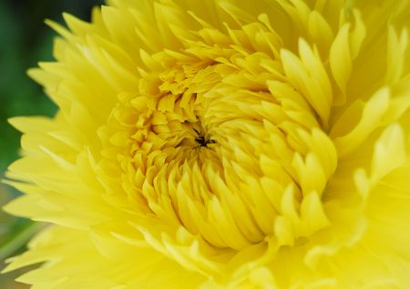 Close-up image of beautiful yellow dahlia photo