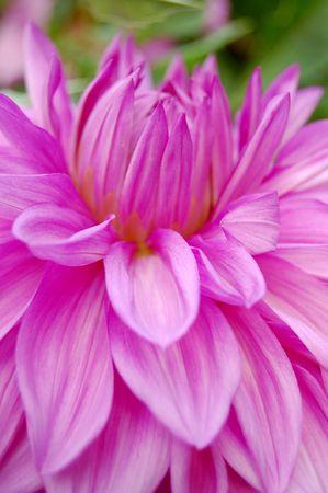 Close-up image of beautiful purple dahlia photo