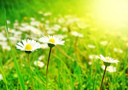 White Flowers on the Spring Meadow in Bright Sunlight Stock Photo - 6400314