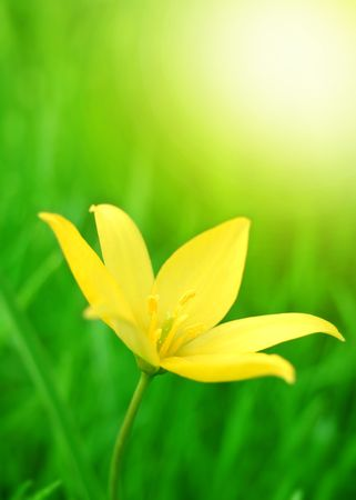 Yellow Flower on the Spring Meadow in Bright Sunlight Stock Photo - 6728620