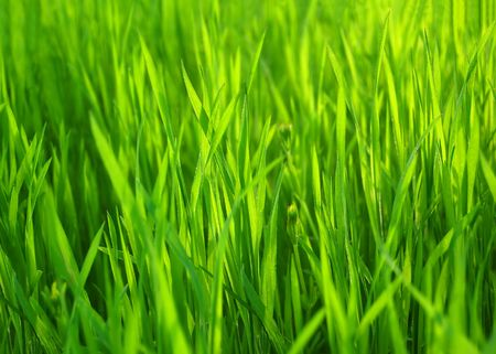 Fresh Spring Green Grass. Natural Grass Background in Sunlight.