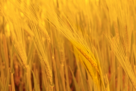 non cultivated: Golden Ripe Wheat Background  Close-up of Ripe Wheat Ears