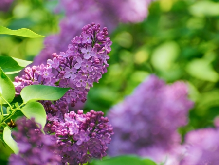 purple lilac: Purple Lilac? Flowers on the Blurred Green Background. Spring Blossom Background