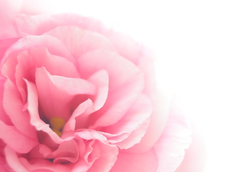 Beautiful Pink Eustoma Flower on the White Background Stock Photo