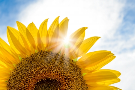 Bright Sun Shines Through the Petals of Beautiful Sunflower Against a Blue Sky