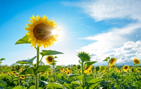 against the sun: Bright Sun Shines Through the Petals of Beautiful Sunflower Against a Blue Sky in the Field