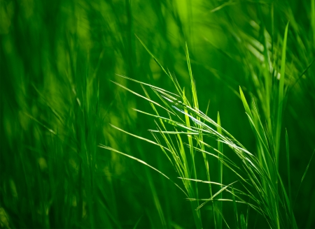 Ears of the Fresh Green Grass. Nature Background photo