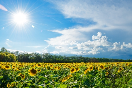 Big Field of Gold Sunflowers under the Bright Sun and Dramatic Blue Sky