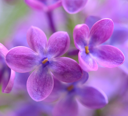 lilac background: Purple Lilac Flowers on the Blurred Green Background  Spring Blossom Background