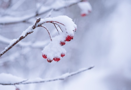 Red Rowan Berries Covered With Fresh Snow. Winter Background photo