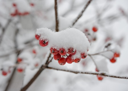 sorb: Red Rowan Berries Covered With Fresh Snow. Winter Background
