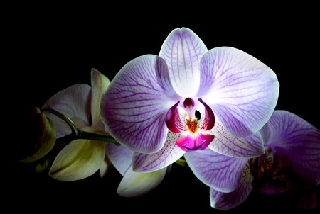 violet flower: Beautiful Pink Orchid Flowers Isolated on the Black Background