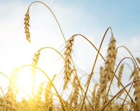 sky sun: Golden Ripe Wheat Ears Against the Blue Sky and the Sun. Harvesting Concept