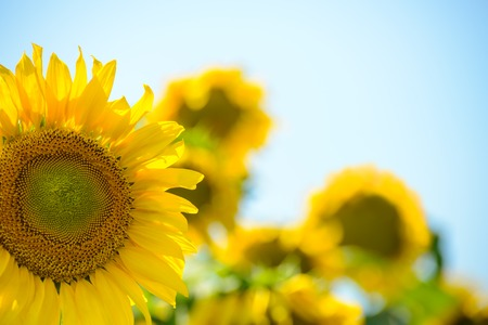 blue summer sky: Beautiful Bright Sunflowers Against the Blue Sky. Summer Flowers Stock Photo