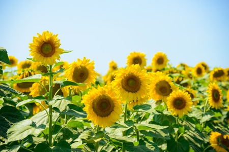 Field of Beautiful Bright Sunflowers Against the Blue Sky. Summer Flowers Stock Photo