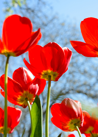 blue tulip: Beautiful Red Tulips in the Field under Spring Sky in Bright Sunlight Stock Photo