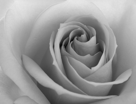 flower close up: Black and White Close up Image of the Beautiful Pink Rose. Flower Background