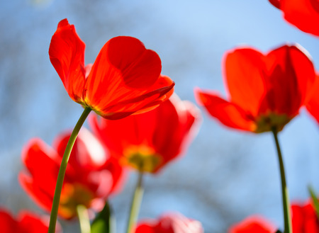 red sky: Beautiful Red Tulips in the Field under Spring Sky in Bright Sunlight Stock Photo