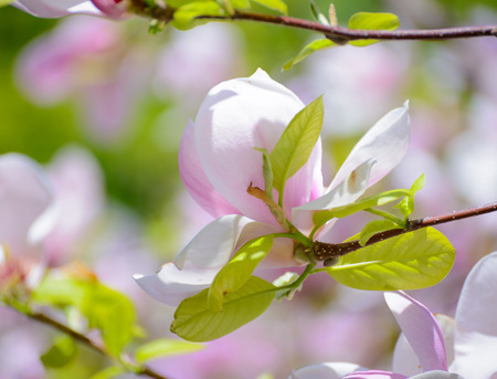 magnolia: Beautiful Pink Magnolia Flowers. Spring Floral Background
