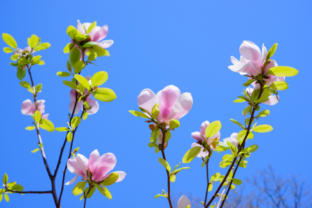 spring time: Beautiful Pink Magnolia Flowers on the Blue Sky Background. Spring Floral Image Stock Photo
