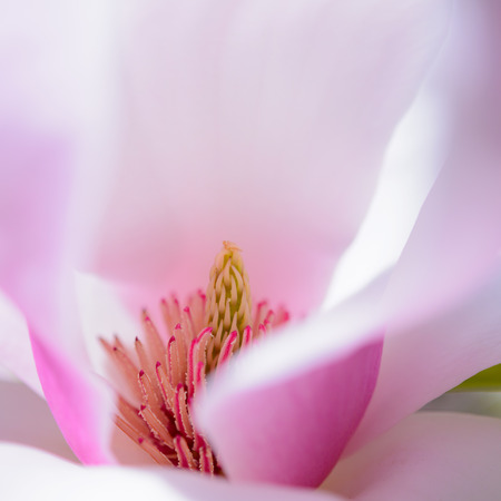 pink floral: Close up of Beautiful Pink Magnolia Flower. Spring Floral Background Stock Photo
