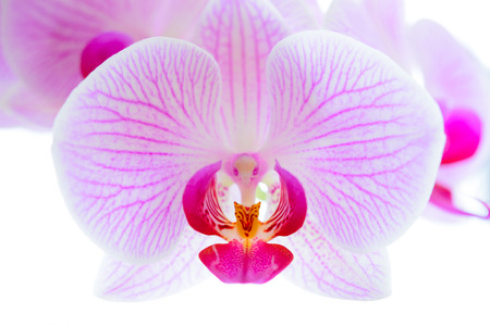 Beautiful Pink Orchid Flowers Isolated on the White Background. Close up Floral Image Imagens