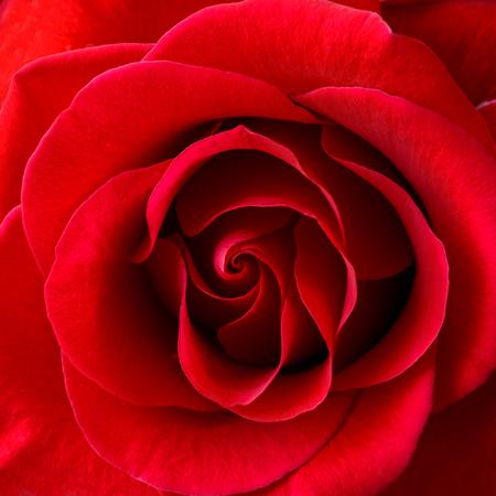 incarnadine: Beautiful Red Rose Close up. Flower Background Image Stock Photo
