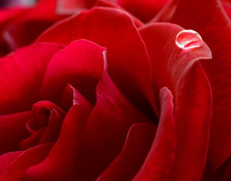Sola gota de agua en la hermosa rosa roja. Flor de fondo macro Photo Foto de archivo