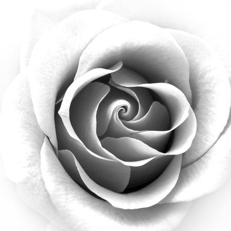 Zwart-wit Close-up beeld van de mooie Rose. Achtergrond van de bloem