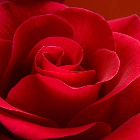 flower rose: Beautiful Red Rose Close up. Macro Flower Background Photo Stock Photo
