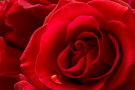 incarnadine: Single Water Drop on the Beautiful Red Rose. Macro Flower Background Photo