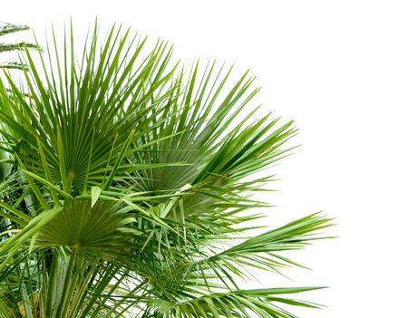 tropical plants: Palm Tree Leafs in the Sunlight on the Bright Sky Background Stock Photo