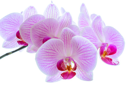 beautiful flowers: Beautiful Pink Orchid Flowers Isolated on the White Background. Close up Floral Image Stock Photo