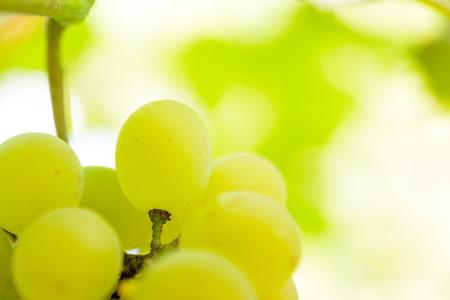 grapes wine: Close-up Image of Ripe Bunche of White Wine Grapes on Vine Stock Photo
