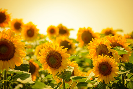 Field of Beautiful Bright Sunflowers at Sunset. Summer Flowers