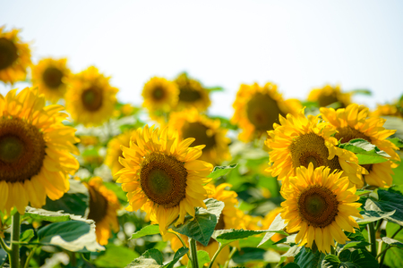 helianthus: Field of Beautiful Bright Sunflowers Against the Blue Sky. Summer Flowers Stock Photo