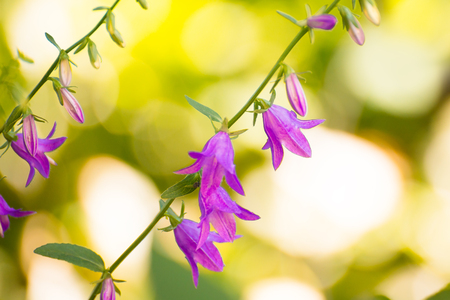 Close up Photo of Beautiful Campanula Flowers on the Bright Blurred Green Background. Stock Photo