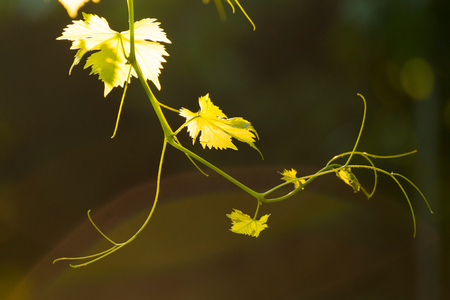 Young Grape Vine on the Blurred Dark Background in Bright Sun Rays