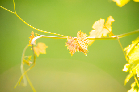 Young Grape Vine on the Blurred Green Background in Bright Sun Rays