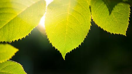 Fresh Spring Green Leaves Over Dark Background