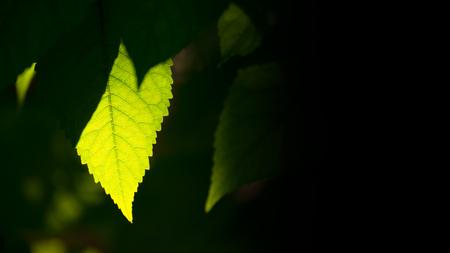 Fresh Spring Green Leaf among Blurred Dark Background