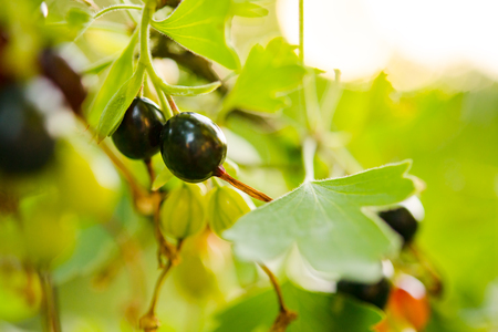 Close-up Image of Ripe Black Currants Growing in the Garden
